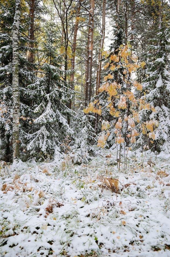 Altay skog royaltyfri fotografi