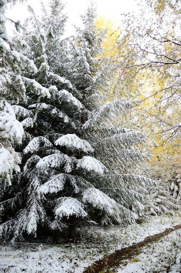 Altay skog royaltyfri foto