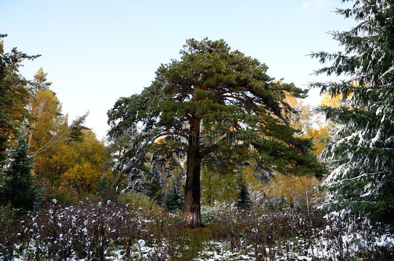 Altay skog royaltyfri bild