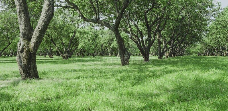 Alte Apfelbäume morgens RAUM F?R BEDECKUNGSschlagzeile UND TEXT lizenzfreie stockfotos