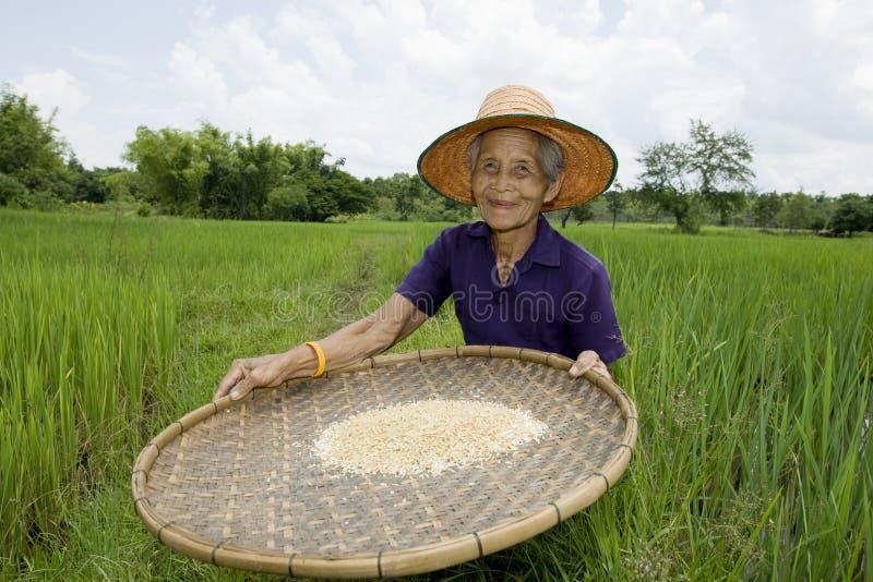 Alte asiatische Frauen siebt Reis am Reisfeld stockfoto