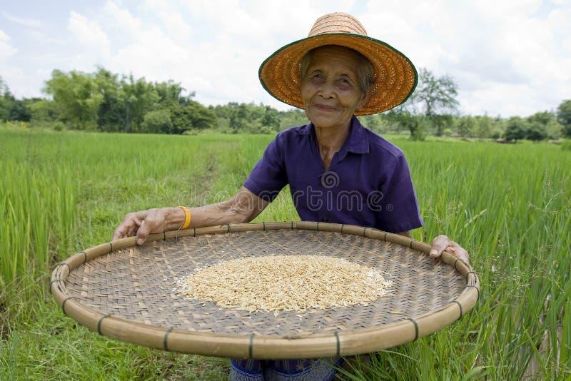 Alte asiatische Frauen siebt Reis am Reisfeld lizenzfreies stockfoto
