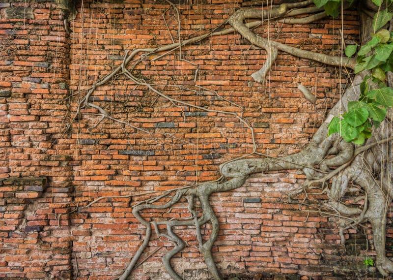 Alte Backsteinmauer mit Banyanbaum stockfotografie