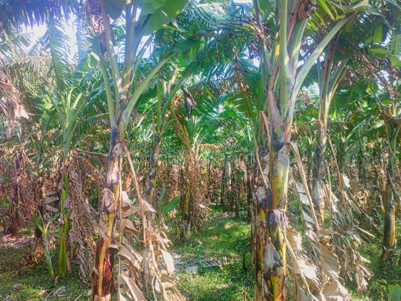 Alte Bananenplantage Alte hohle gebrochene Zurückgehung und auf Rhizome haben neues Blatt gewachsen stockfotos