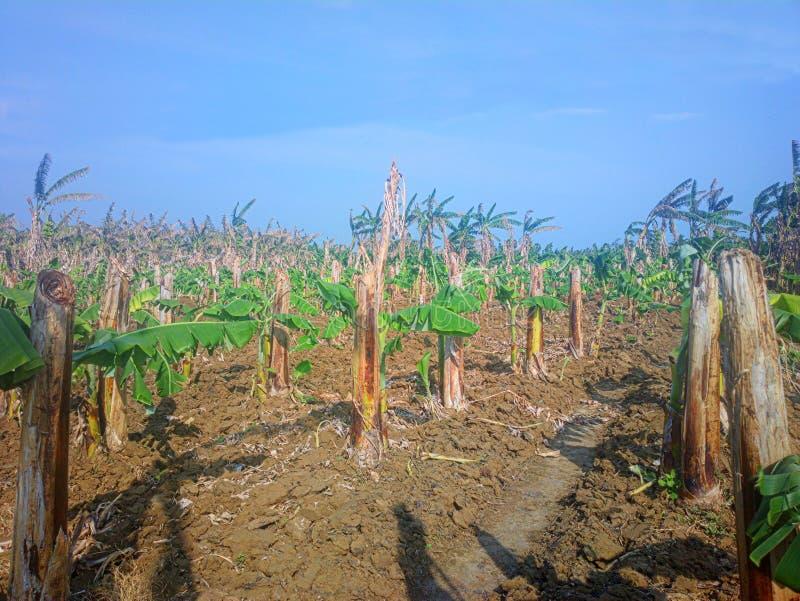 Alte Bananenplantage Alte hohle gebrochene Zurückgehung und auf Rhizome haben neues Blatt gewachsen stockfotografie