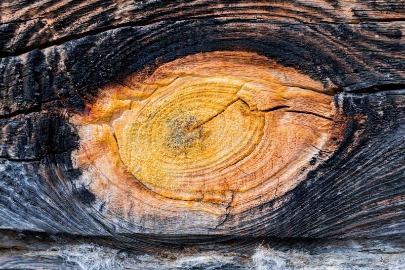 Alte Baumbeschaffenheit mit einem Weibchen stockbild