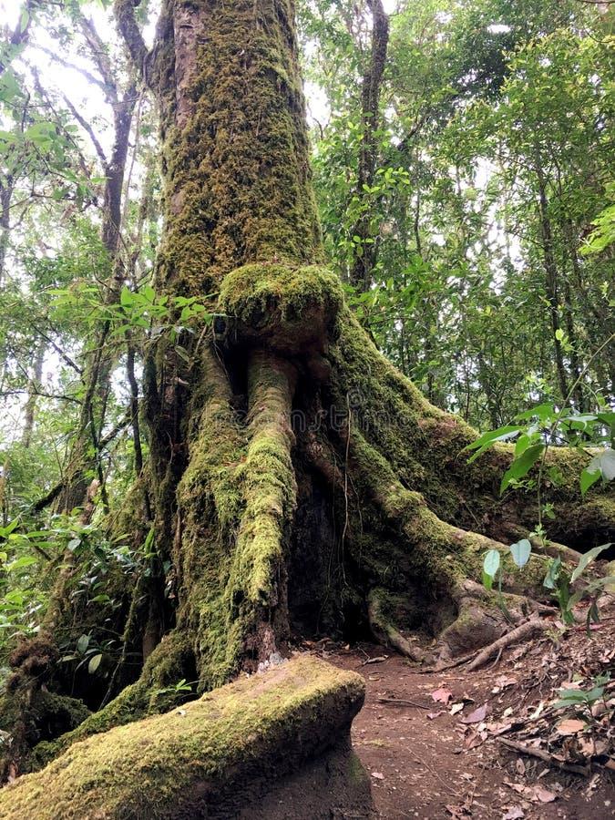 Alte Baumwurzel mit Flechte und Moos im Wald lizenzfreie stockfotografie