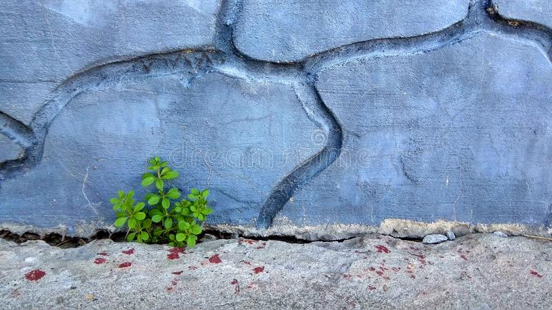 Alte Betonmauer und Anlage, die durch Sprung wächst stockbilder