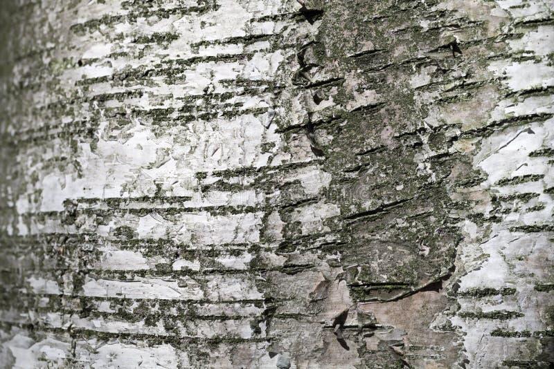 Alte Birken-Baum-Barke Natürliche Beschaffenheit der Nahaufnahme lizenzfreies stockfoto