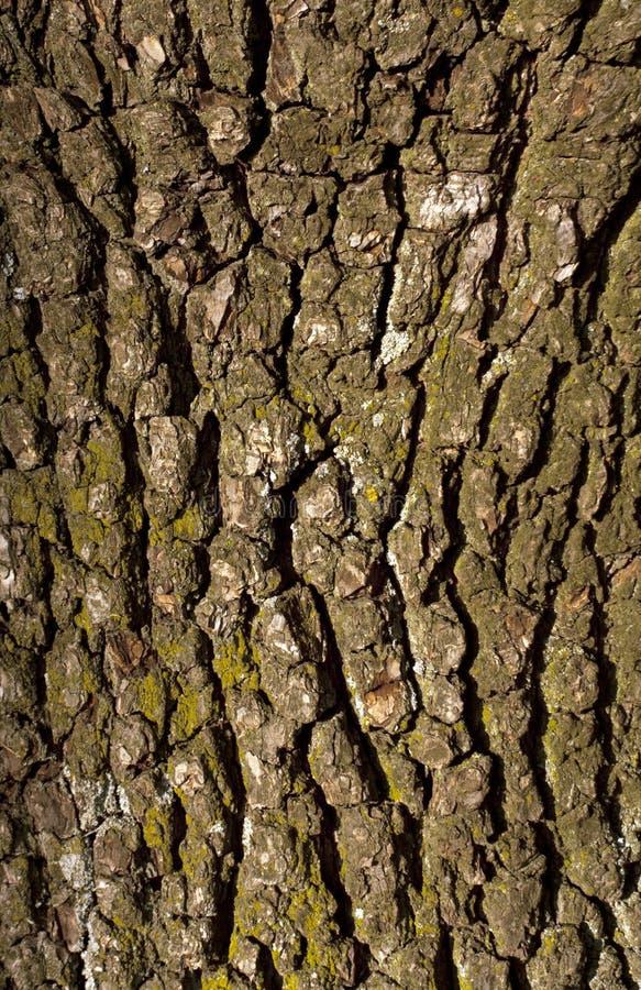 Alte Birnenbaumrindebeschaffenheit mit Moos stockfotos