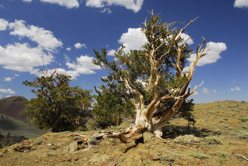 Alte bristlecone Kiefer in Ostkalifornien lizenzfreies stockbild