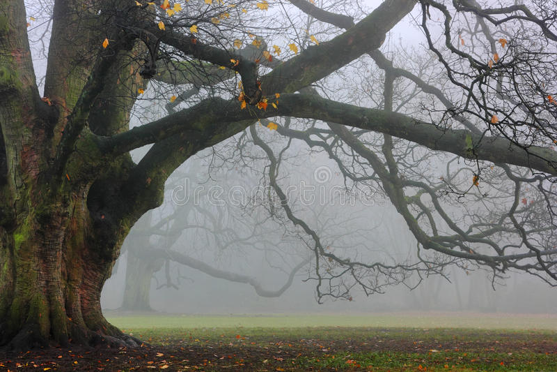 Alte Eiche im Nebel lizenzfreies stockfoto