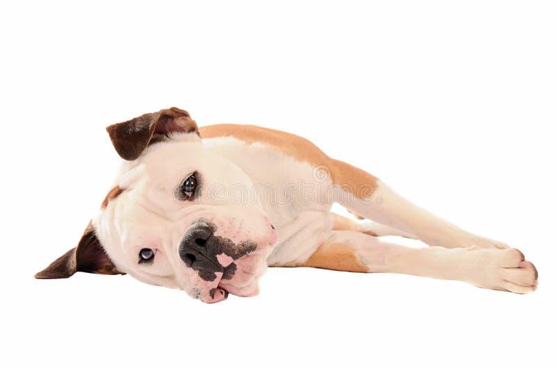 Alte englische Bulldogge, die auf einem weißen Hintergrund liegt lizenzfreies stockbild
