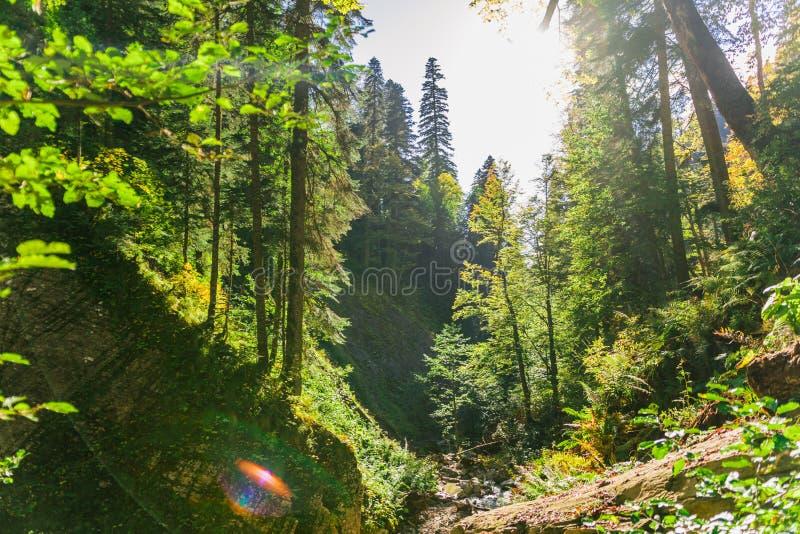 Alte grüne Waldsonnenlichtbrüche durch die Bäume Die Schlucht, in der ein Gebirgsstrom fließt stockbild