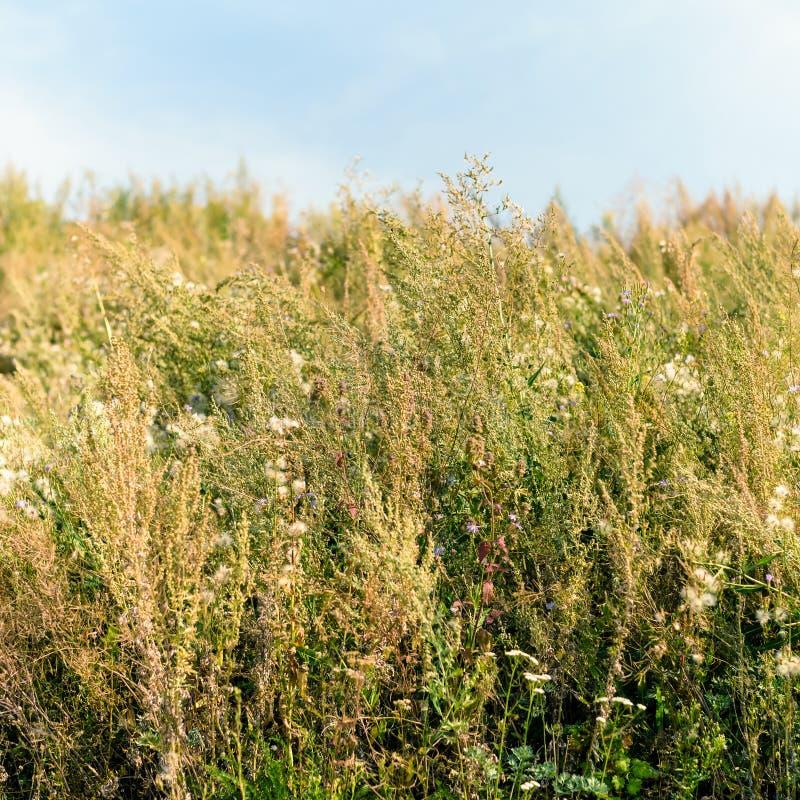 Alte Heuwiese der wilden Blume im Sommer Kr?uter, Wiese mit getrocknetem Gras, Herbstnaturhintergr?nde lizenzfreies stockbild