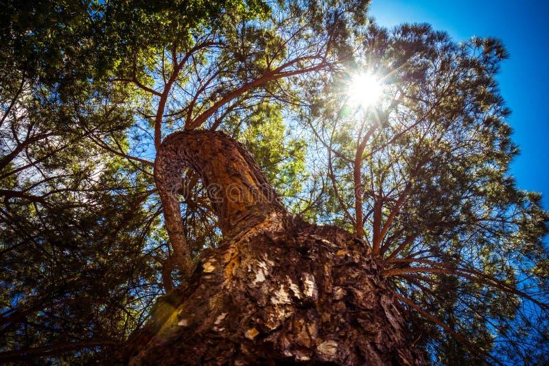 Alte hohe immergrüne Kiefer, Ansicht von der Unterseite oben, Strahlen der Sonne ihre Weise durch Niederlassungen auf blauem Himm lizenzfreie stockbilder