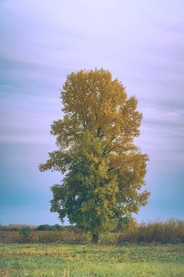 Alte hohe Pappel mit gelben Blättern auf Herbstwiese stockfotos