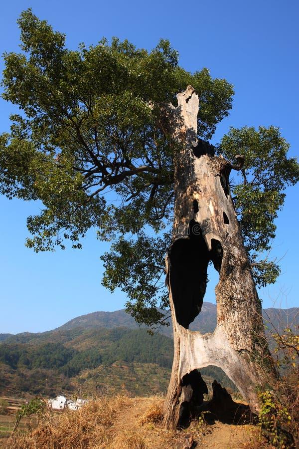 Alte hohle Bäume am Dorf Lingjiao stockfoto