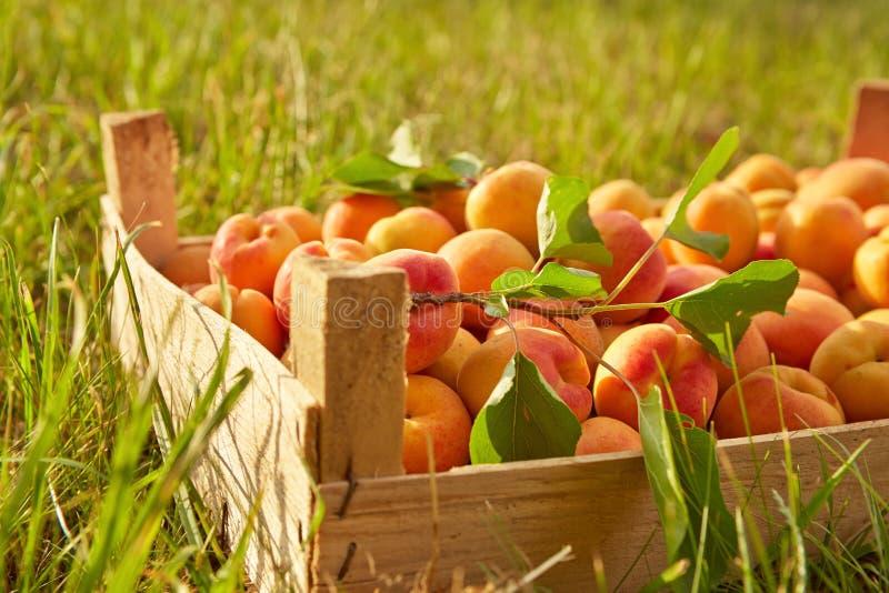 Alte Holzkiste mit Aprikosen lizenzfreies stockfoto