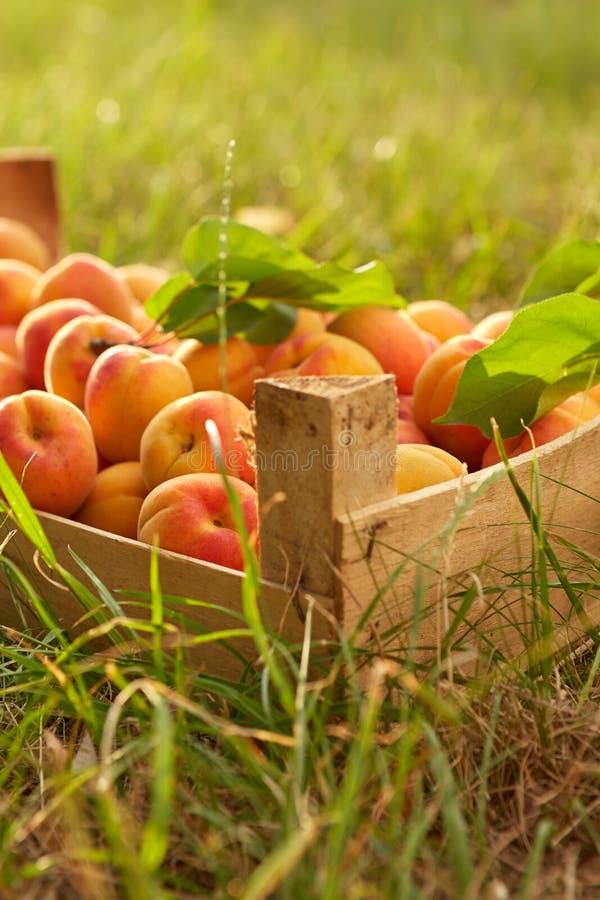 Alte Holzkiste mit Aprikosen stockfotografie
