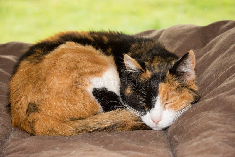 Alte Kalikokatze, die friedlich in einem weichen Bett schläft lizenzfreies stockfoto