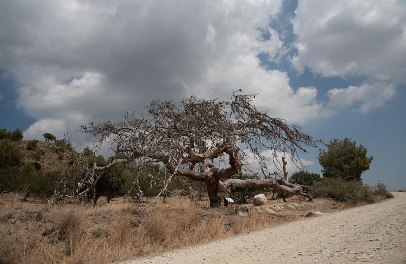 Alte Kiefer, Pinus brutia, an Platani-Dorf in Nord-Zypern stockbild