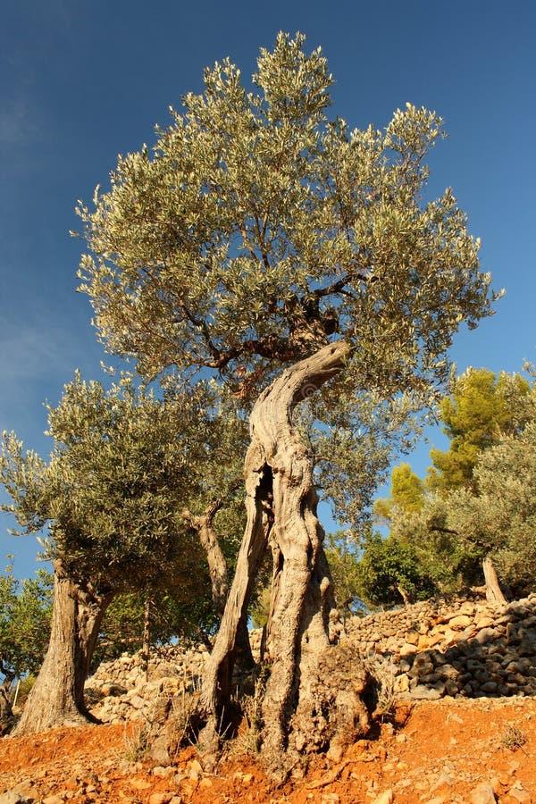 Alte Olivenbäume stockbild