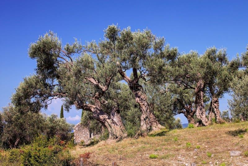 alte Olivenbäume, Bosnien Herzegovina stockbilder