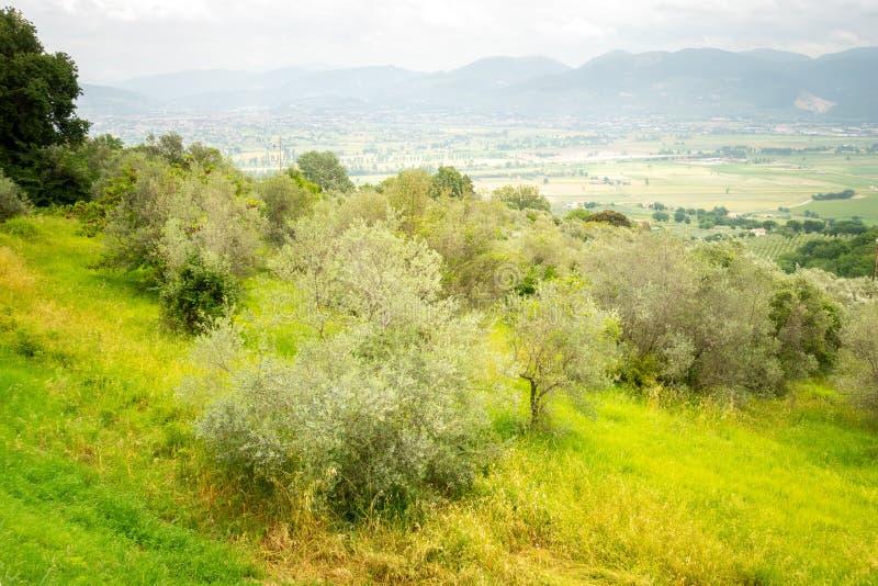Alte Olivenbäume lizenzfreies stockfoto