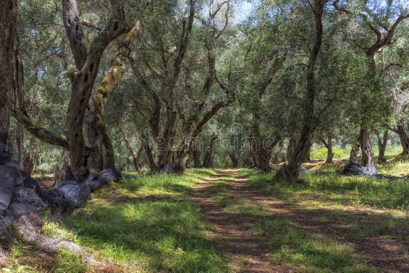 Alte Olivenbäume in Griechenland stockfoto