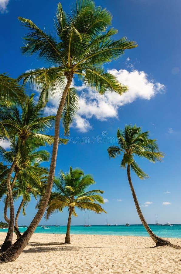 Alte palme esotiche su una spiaggia selvaggia contro le acque azzurrate del mar dei Caraibi, Repubblica dominicana fotografie stock libere da diritti