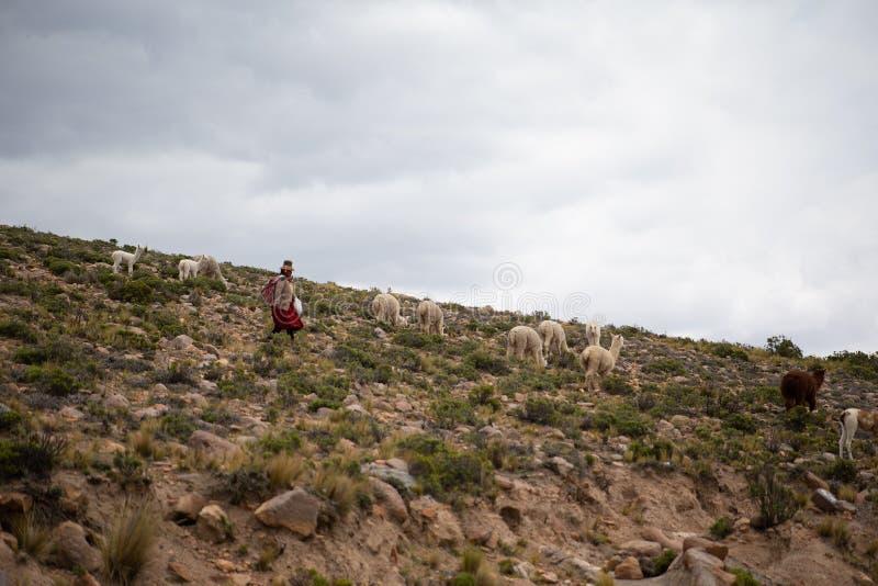 Alte peruanische Dame, die ihre Alpakas im Auge behalten, Lamas und Schafe in chivay, Arequipa, Peru auf 20. vom März 2019 stockfoto