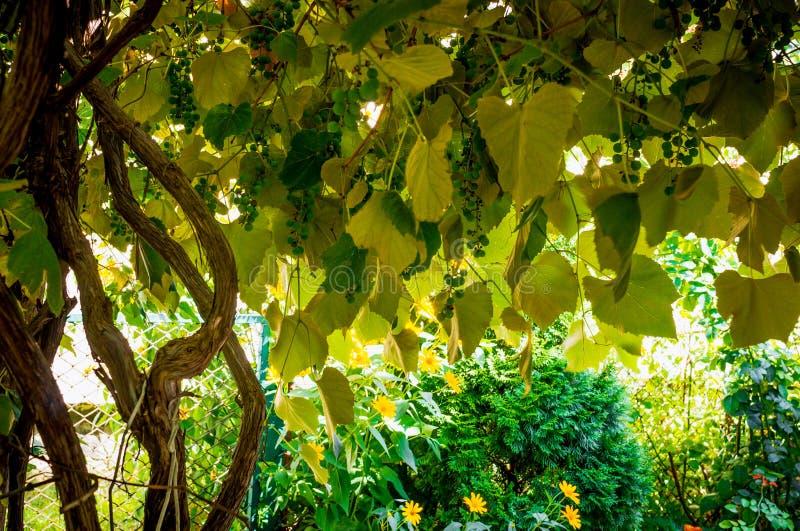Alte Reben und rustikaler Garten stockfotos