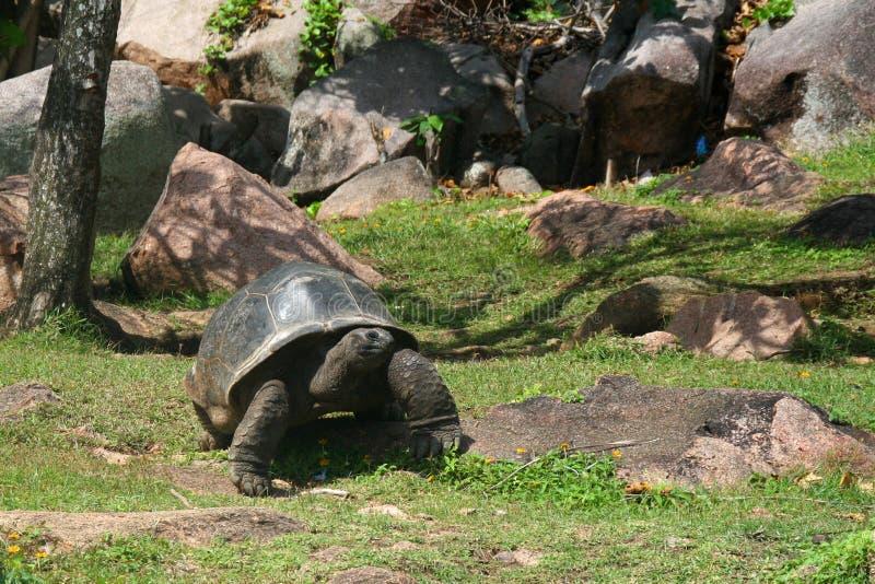 Alte riesige Schildkröte im Garten lizenzfreies stockbild