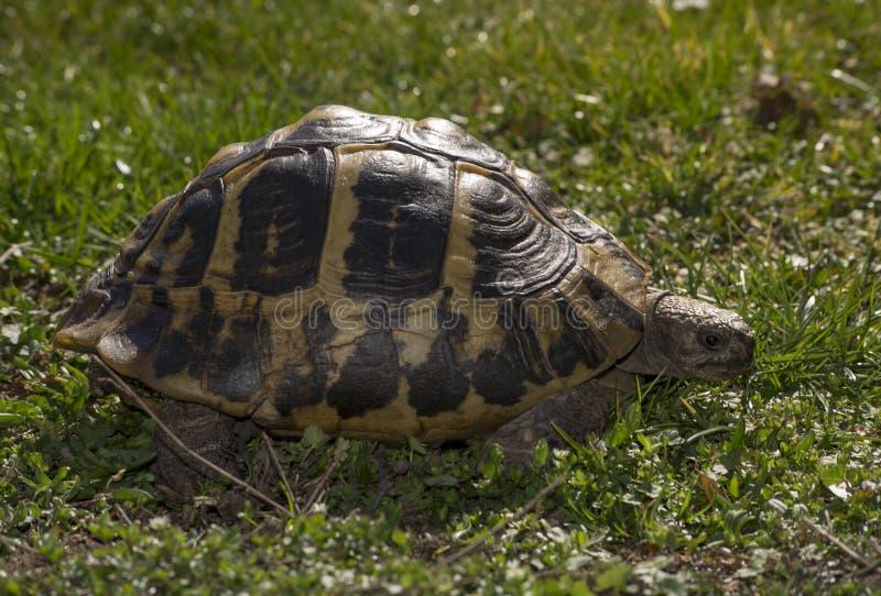 Alte Schildkröte, die nachdem dem lonf Winterschlafen aufweckt lizenzfreies stockbild