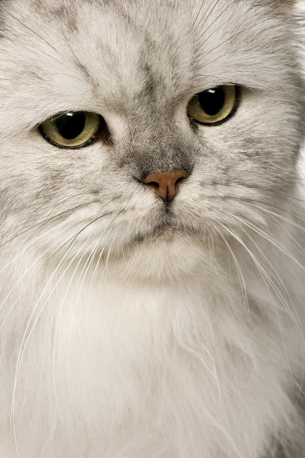 Alte silberne persische Katze lizenzfreie stockfotografie