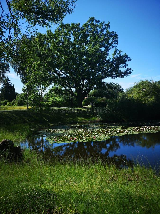 Alte starke Eiche im Sommer stockbilder