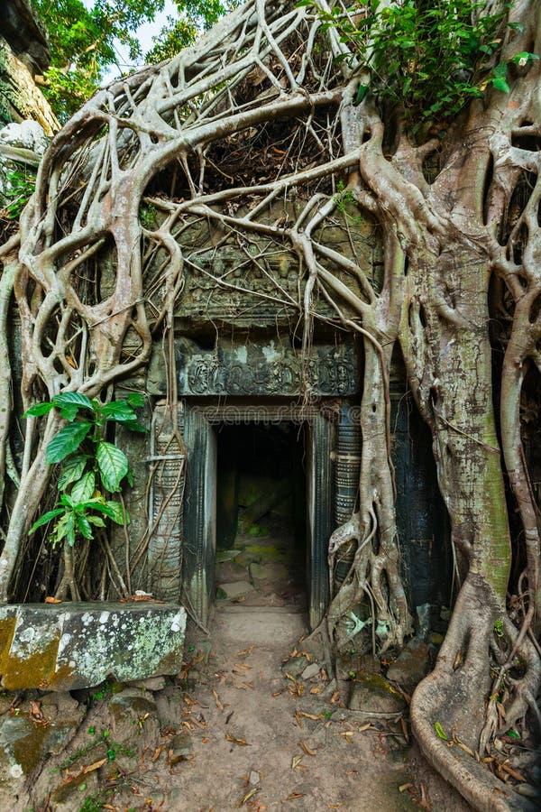 Alte Steintür- und Baumwurzeln, Tempel Ta Prohm, Angkor, Camb stockfotografie