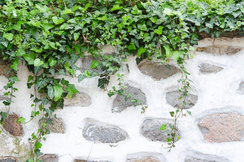 Alte Steinwand, Gips und grüner Efeu stockfoto