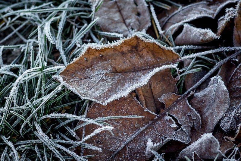 Alte trockene Blätter umfassten mit Frost den ersten Frost im Wald, stockfotografie