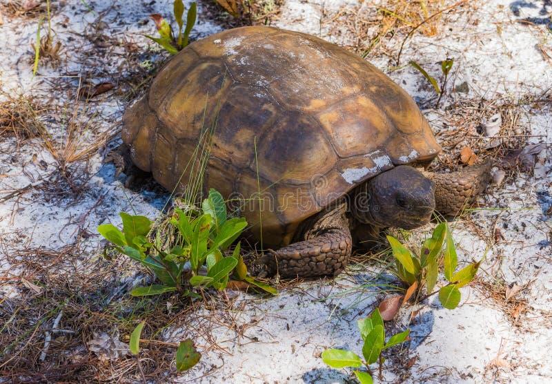 Alte und geknitterte Florida-Gopher-Schildkröte stockbild