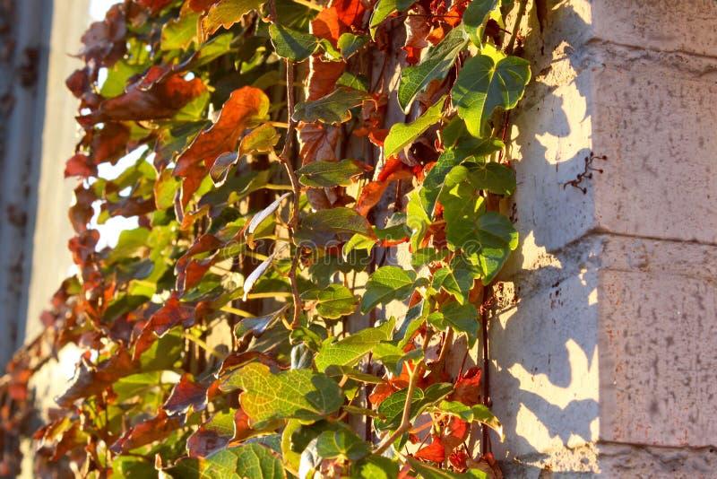 Alte Wand des Efeus stockfotografie