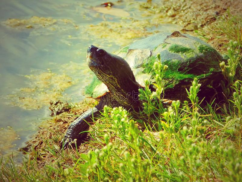 Alte Zierschildkröte auf der Bank von einem lokalen Fischerei-Teich lizenzfreies stockfoto