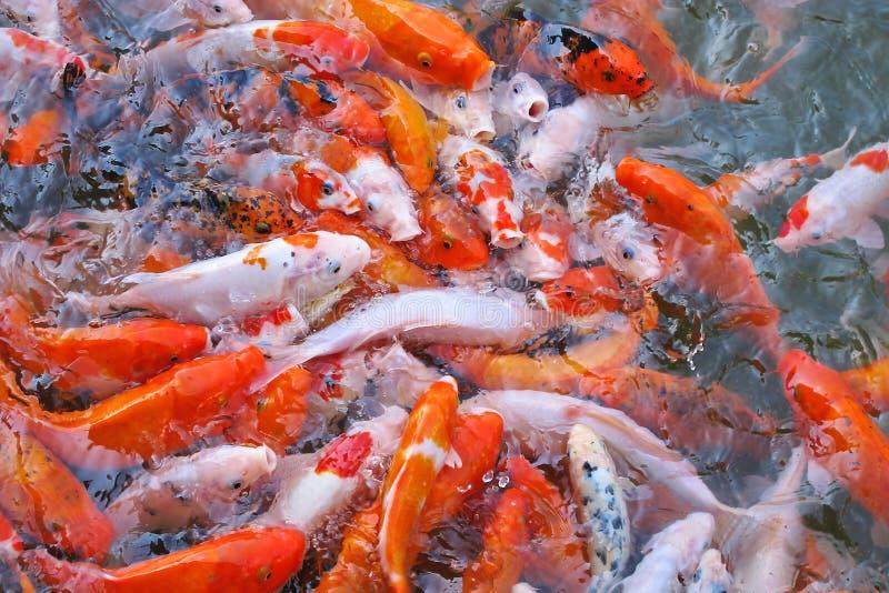 altembasowy karp współzawodniczy ryba karmowe fotografia royalty free