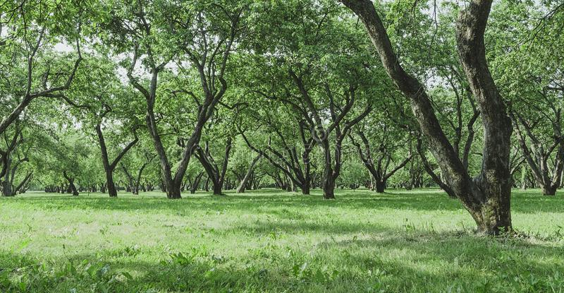 Alter Apfelgarten im Sommer lizenzfreie stockfotografie