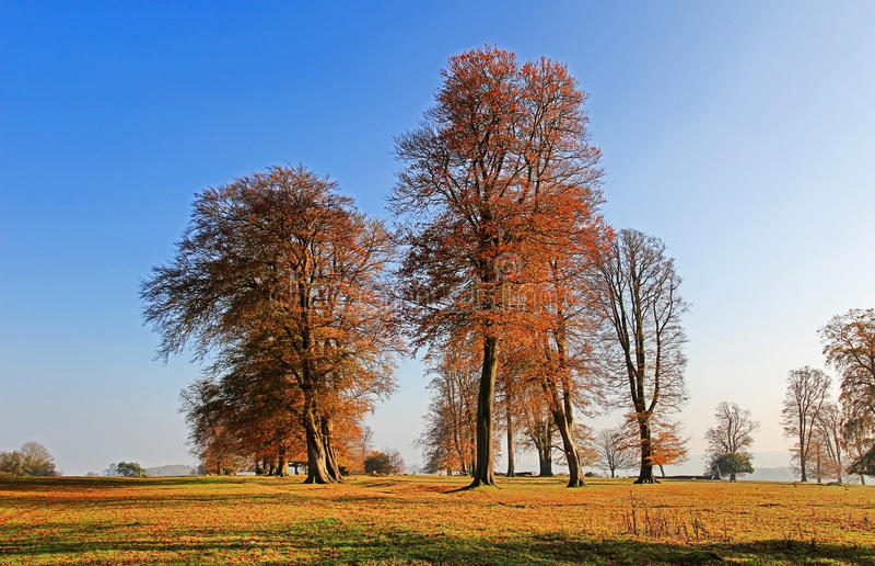 Alter Autumn Beech Trees entlang der Knifghtley-Weise, Fawsley, Northamptonshire stockfotografie