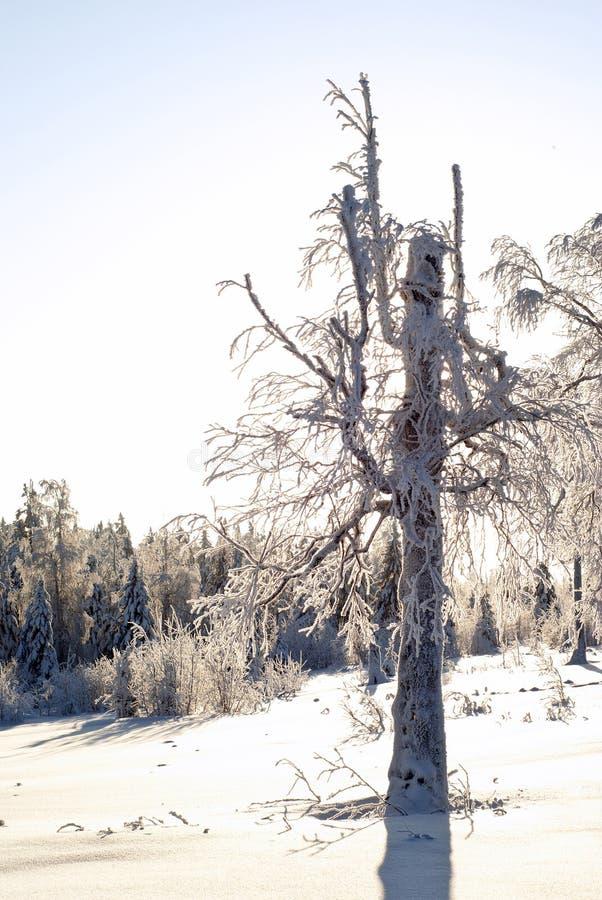 Alter Baum in einer Winterlichtung lizenzfreie stockfotos