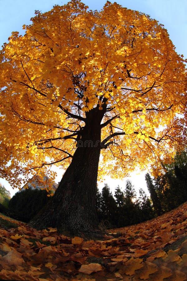 Alter Baum im Herbst lizenzfreie stockbilder