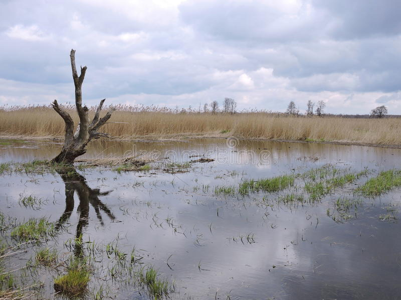 Alter Baum im Sumpf lizenzfreie stockbilder