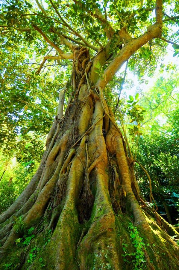 Alter Baum mit großen Wurzeln lizenzfreie stockfotos